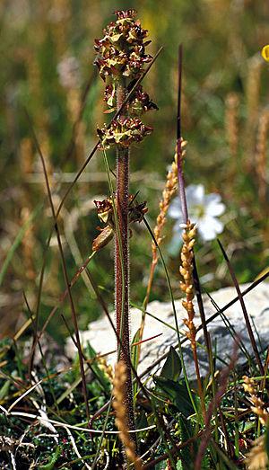 Flora of Svalbard - Hawkweed-leaved saxifrage