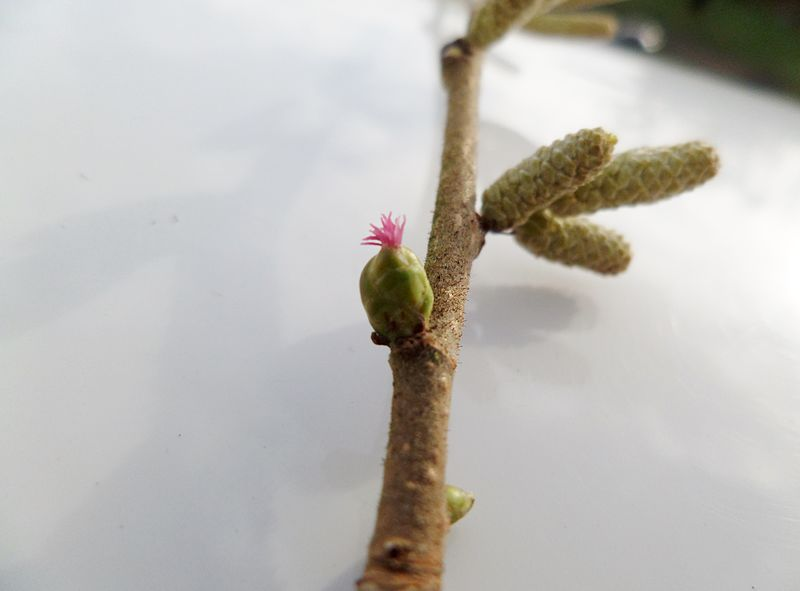 File:Hazel twig with male and female flowers.JPG