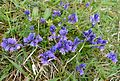 Heath Milkwort. Polygala sepyllifolia - Flickr - gailhampshire.jpg