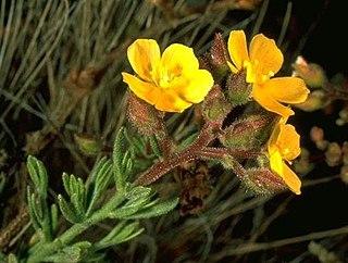 <i>Helianthemum greenei</i> species of plant