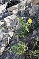 Helianthemum nummelarium Common Rockrose ყვითელი მზეყვავილა.JPG