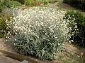 Helichrysum petiolare 1c.JPG
