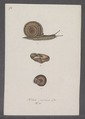 Helix cornea - - Print - Iconographia Zoologica - Special Collections University of Amsterdam - UBAINV0274 089 01 0036.tif