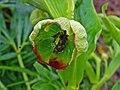 Helleborus foetidus 003.JPG