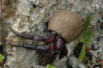 Henderson Island (Pitcairn Islands) - Coconut crab.