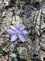 Hepatica nobilis (Ranunculaceae) 01.jpg