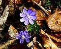 Hepatica nobilis ENBLA11.jpg