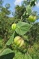 Herissantia crispa - Bladder Mallow at Theni (9).jpg