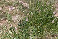 Hermbstaedtia argenteiformis-2083 - Flickr - Ragnhild & Neil Crawford.jpg