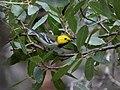 Hermit Warbler (male) Huachuca Canyon Sierra Vista AZ 2018-08-26 11-02-15 (48038433738).jpg