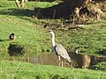 Heron in Shepherds Meadows - geograph.org.uk - 659818.jpg