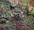 Heteropteran Nymph (48825619211).jpg