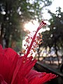 Hibiscus flower and sun.jpg