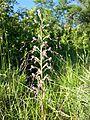 Himantoglossum adriaticum sl18.jpg