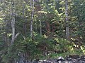 Hippa Island Deer - panoramio.jpg