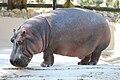 Hippopotamus amphibius - Homosassa Springs Wildlife State Park, Florida - 2010-01-13.jpg