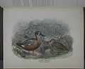 History of the birds of NZ 1st ed p252-2.jpg