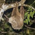 Hoffmann's two-toed sloth (Choloepus hoffmanni) male 1.jpg