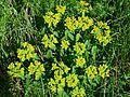 Hollabrunn - Oberstinkenbrunn - ND HL-046 - Galgenberg - Vielfarbige Wolfsmilch (Euphorbia epithymoides).jpg