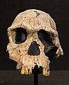 Homo habilis in Kulturama.jpg