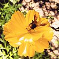 Honey bee on the flower.jpg