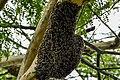 Honeybee swarm.jpg