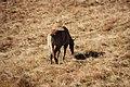 Horse grazing - Borghetto di Sopra (1980 m.a.s.l.) in Valchiavenna, Province of Sondrio, Lombardy, Italy - 2017-10-15.jpg