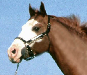 Lead (tack) - A lead shank applied under the chin. (note: Image has been reversed)