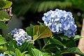 Hortensia (Hydrangea macrophylla) (14415515885).jpg