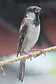 House Sparrow ker2.jpg