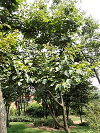 Hovenia acerba - Kunming Botanical Garden - DSC03265