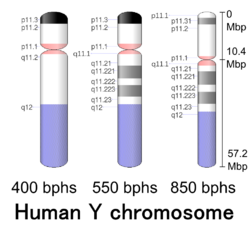 G-banding ideogram of human Y chromosome in resolution 850 bphs. Band length in this diagram is proportional to base-pair length. This type of ideogram is generally used in genome browsers (e.g. Ensembl, UCSC Genome Browser).