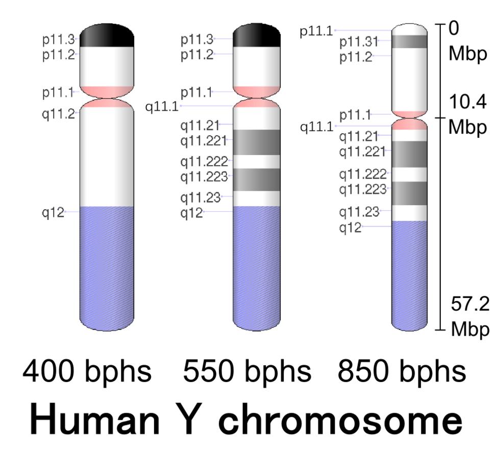 Human chromosome Y - 400 550 850 bphs