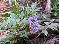 Hydrophyllum capitatum (7939896470).jpg
