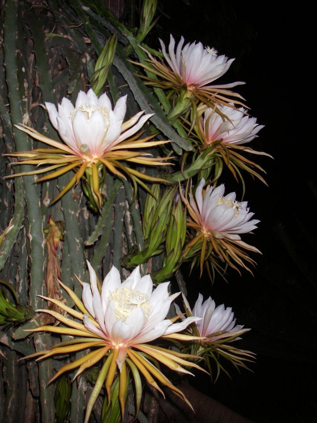 Гилоцереус лесной цереус  Комнатные цветы и растения