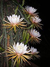 Hylocereus monacanthus1ANKA