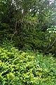 Hypericum androsaemum kz10.jpg
