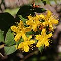 Hypericum senanense subsp. senanense (Mount Kasa).jpg