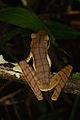 Hypsiboas lanciformis (14339824060).jpg