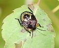 IC Hemiptera larva.JPG