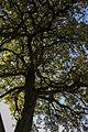 ID 640 Quercus2.jpg