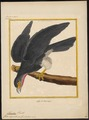 Ibycter americanus - 1700-1880 - Print - Iconographia Zoologica - Special Collections University of Amsterdam - UBA01 IZ18200001.tif