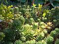Iceland Plants 4853.JPG