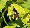 Ichneumon Wasp (34677032395).jpg