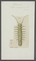 Idotea viridissima - - Print - Iconographia Zoologica - Special Collections University of Amsterdam - UBAINV0274 098 06 0006.tif