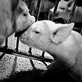 Igualdad Animal - Investigación Granjas Cerdos Toledo - 15-06-2010 - 19 (7138397759).jpg