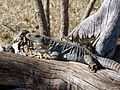 Iguana at Uxmal (8263837945).jpg