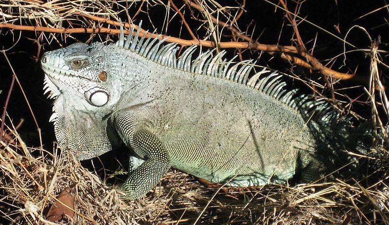 Fiche - Iguanidae 800px-Iguana_iguana02