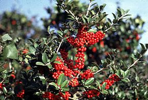 Description de l'image Ilex vomitoria fws.jpg.