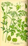 Illustration Petroselinum crispum0